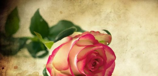 Romance Rose